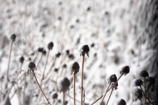橋頭河畔雪地上的一些植物(有高人能指點這是什麼草嗎?)